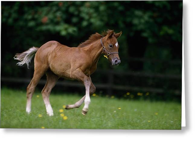 Full Body Greeting Cards - Thoroughbred Horse, National Stud Greeting Card by The Irish Image Collection