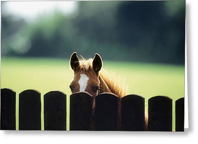 Pastureland Greeting Cards - Thoroughbred Horses, Foal Looking Over Greeting Card by Sici