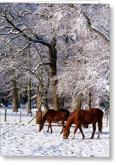 Thoroughbred Horses, Mares In Snow Greeting Card by The Irish Image Collection