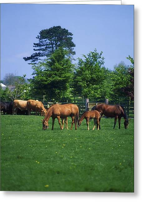 Full Body Greeting Cards - Thoroughbred Horses Greeting Card by The Irish Image Collection