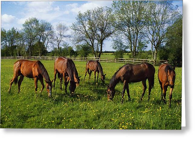 Yearling Horse Greeting Cards - Thoroughbred Horses, Yearlings, Ireland Greeting Card by The Irish Image Collection