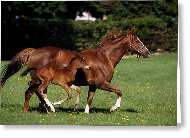 Full Body Greeting Cards - Thoroughbred Mare And Foal Galloping Greeting Card by The Irish Image Collection