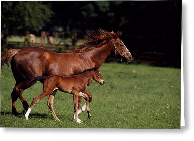 Full Body Greeting Cards - Thoroughbred Mare & Foal, Ireland Greeting Card by The Irish Image Collection