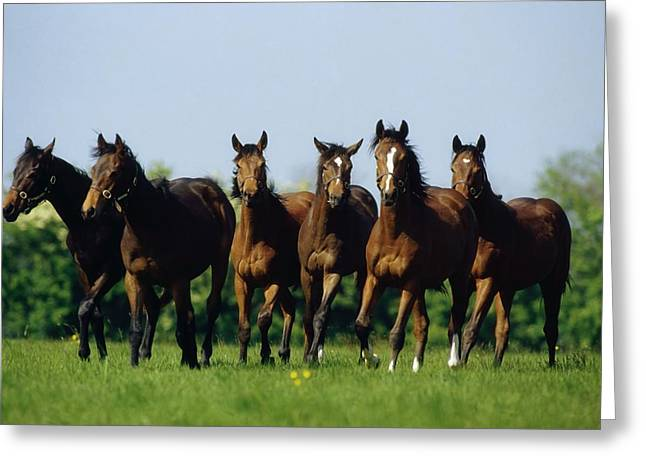 Yearling Horse Greeting Cards - Thoroughbred Yearlings, Co Meath Greeting Card by The Irish Image Collection
