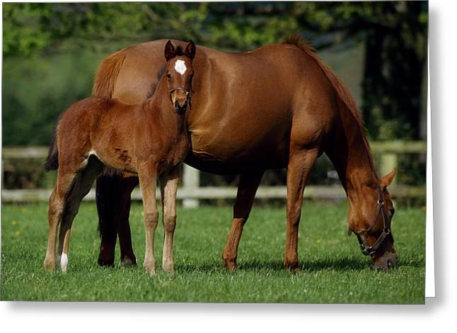Full Body Greeting Cards - Thoroughbreds Mare & Foal, Ireland Greeting Card by The Irish Image Collection