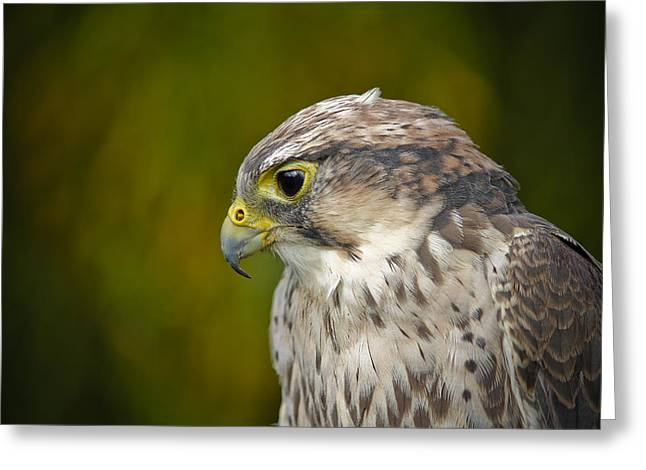 Bambers Greeting Cards - Thoughtful Kestrel Greeting Card by Clare Bambers