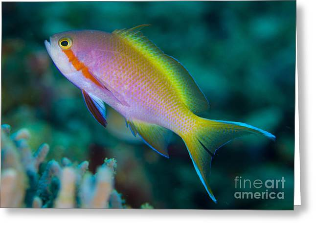 Red Cheeks Greeting Cards - Threadfin Anthias Swimming Near Reef Greeting Card by Steve Jones