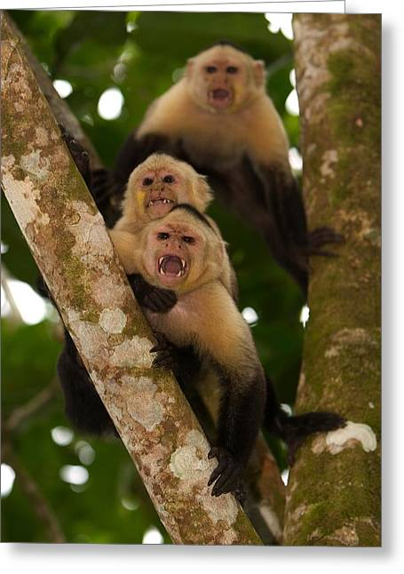 Anger And Hostility Greeting Cards - Three Angry White-throated Capuchin Greeting Card by Roy Toft
