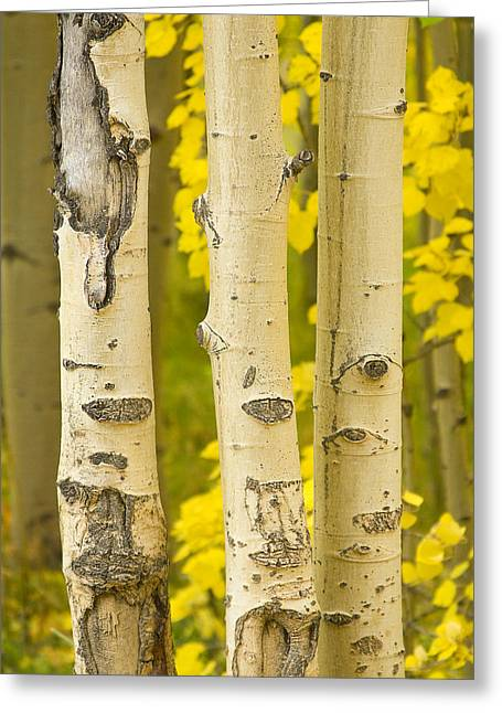 Office Space Photographs Greeting Cards - Three Autumn Aspens Greeting Card by James BO  Insogna