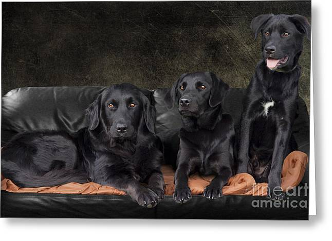 Black Fur Greeting Cards - Three Black Labradors Greeting Card by Ethiriel  Photography