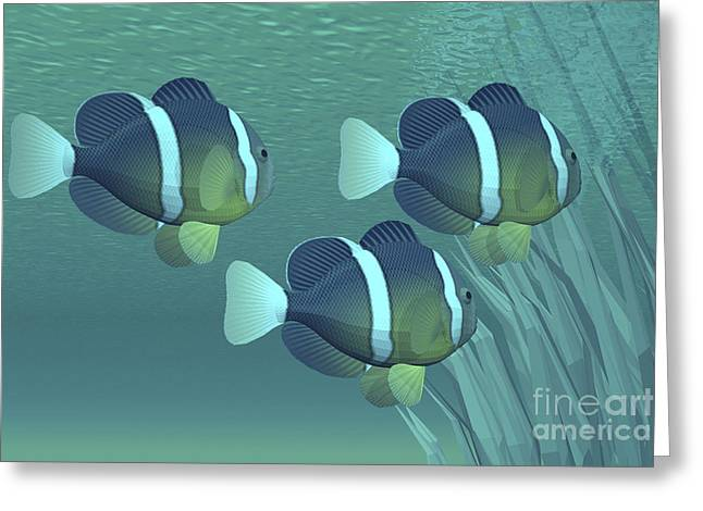 Yellowtail Clownfish Greeting Cards - Three Clownfish Swim Close To Some Greeting Card by Corey Ford
