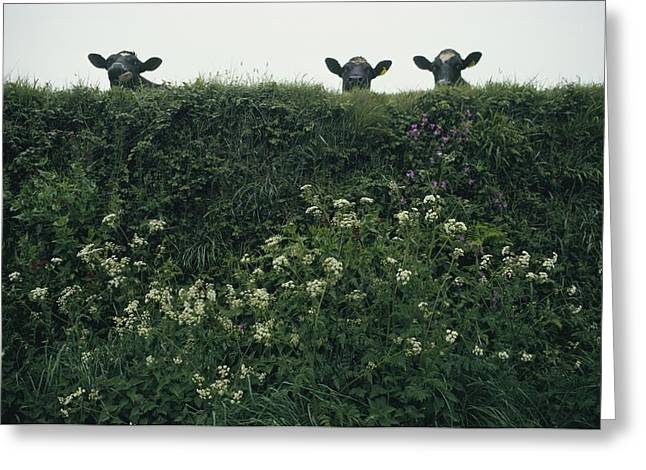 Dairy Farmers And Farming Greeting Cards - Three Cows Peer Over A Hedge Garlanded Greeting Card by Sam Abell