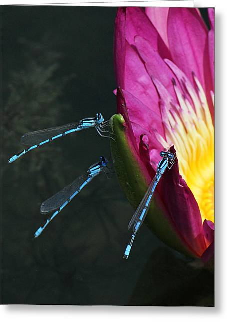 Becky Greeting Cards - Three damselflies on pink waterlily Greeting Card by Becky Lodes