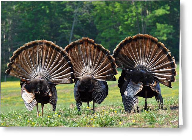Tn Greeting Cards - Three Fans Greeting Card by Todd Hostetter