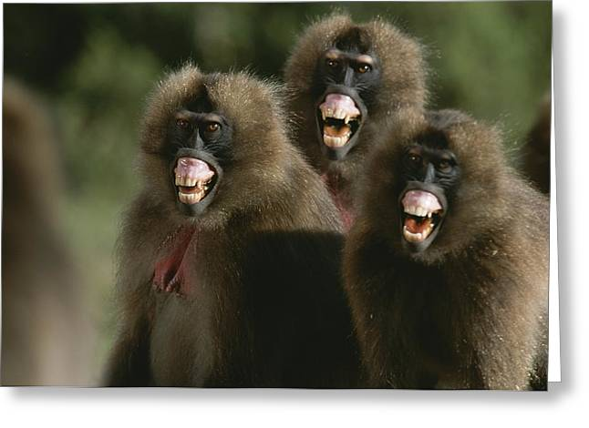 Anger And Hostility Greeting Cards - Three Female Geladas, Theropithecus Greeting Card by Michael Nichols