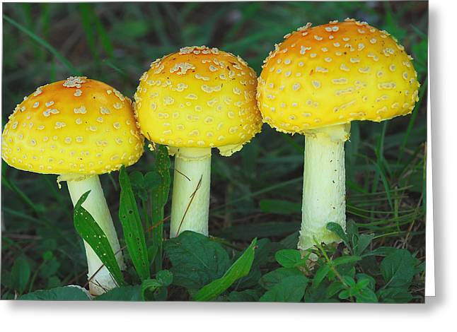 Toadstools Greeting Cards - Three Fungiteers Greeting Card by Alan Lenk