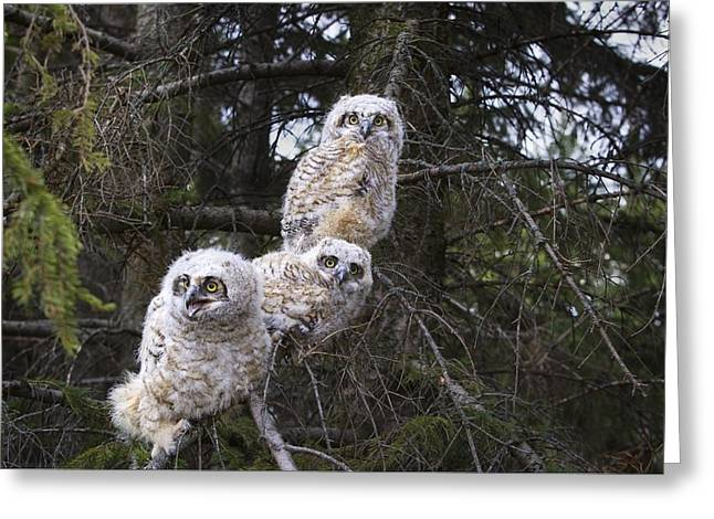 Three Chicks Greeting Cards - Three Great Horned Owl Bubo Virginianus Greeting Card by Richard Wear