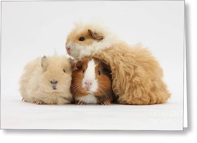 House Pet Greeting Cards - Three Guinea Pigs Greeting Card by Mark Taylor