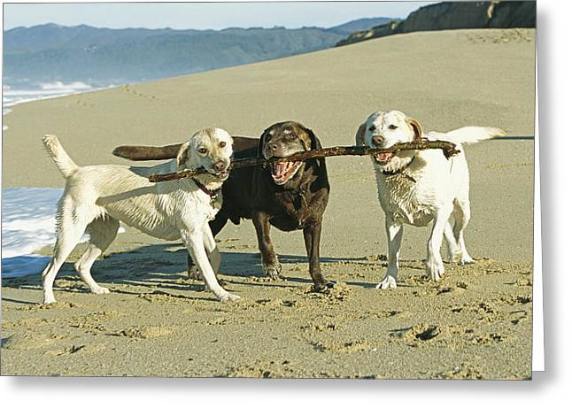 Three Labrador Retrievers On One Stick Greeting Card by Roy Toft