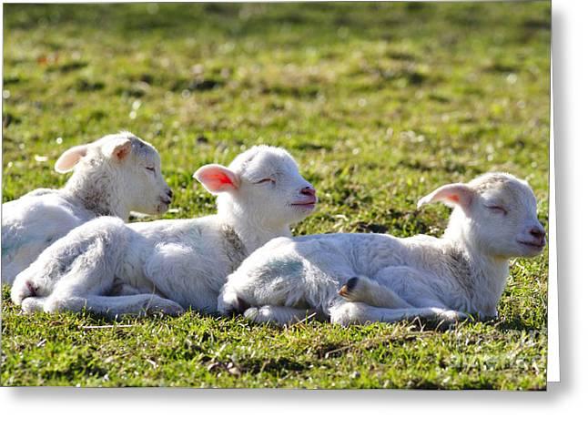 Appalachian Farm Greeting Cards - Three Little Lambs Greeting Card by Thomas R Fletcher