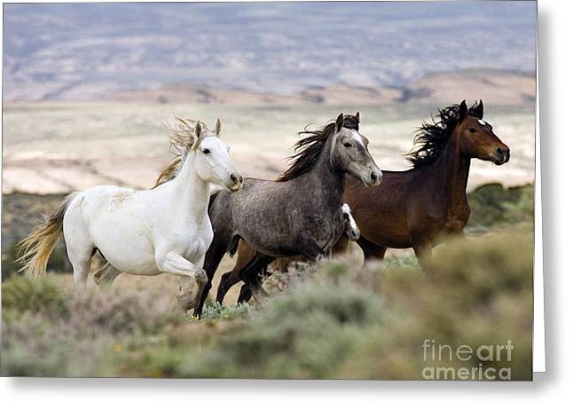 Wild Horse Greeting Cards - Three Mares Running Greeting Card by Carol Walker