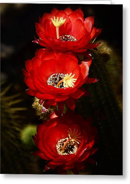 Torch Cactus Greeting Cards - Three of a Kind  Greeting Card by Saija  Lehtonen
