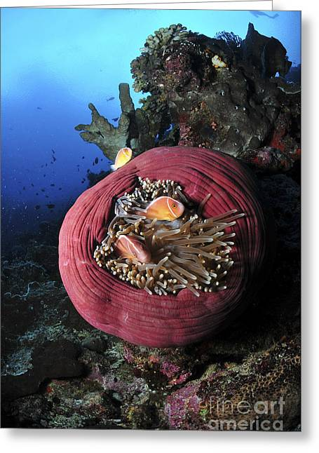 Sea Animals Greeting Cards - Three Pink Anemonefish In A Circular Greeting Card by Mathieu Meur