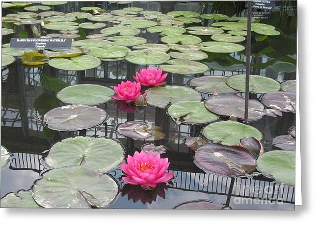 Three Pink Water Lilies Greeting Card by Portia Petty