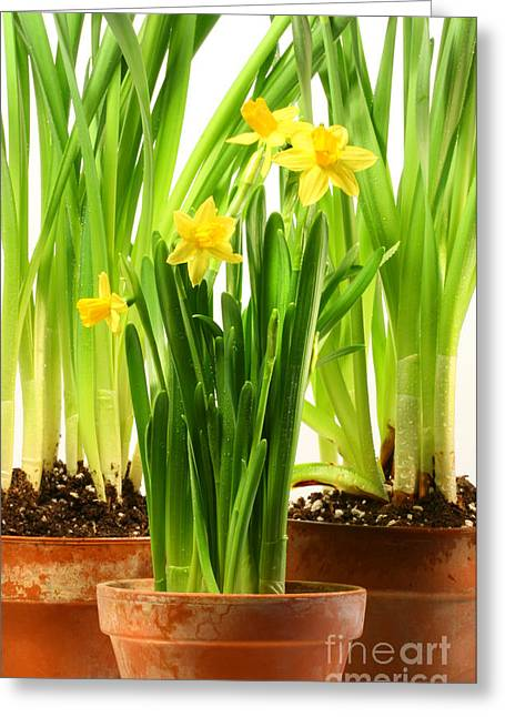 Flowerpot Greeting Cards - Three pots of daffodils on white  Greeting Card by Sandra Cunningham