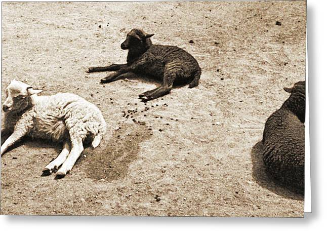 Agnus Greeting Cards - Three Sheep Greeting Card by Jenn Bodro