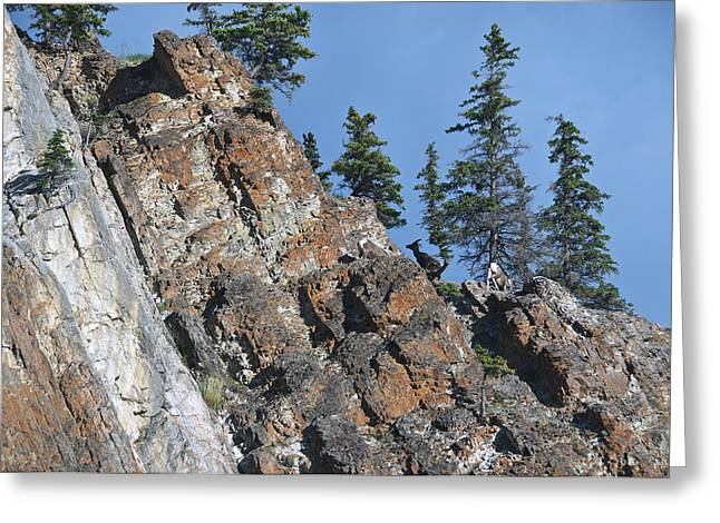 Rocky Mountain Sheep Greeting Cards - Three Sheep Topside Greeting Card by David Kleinsasser