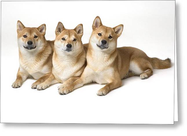 Clever Greeting Cards - Three Shiba Inu Dogs Greeting Card by Corey Hochachka