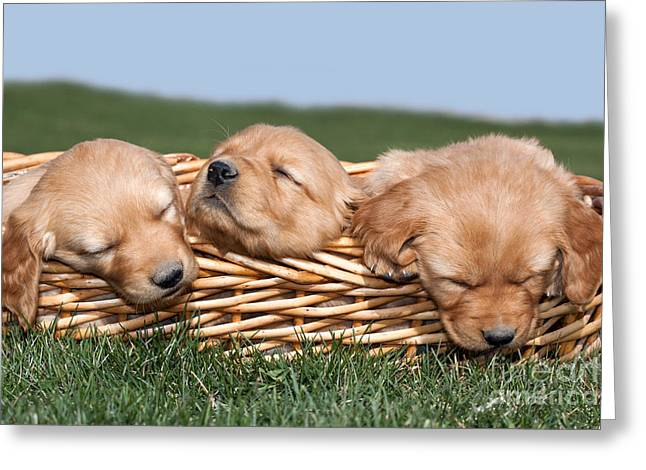 Idaho Greeting Cards - Three Sleeping Puppy Dogs in Basket Greeting Card by Cindy Singleton