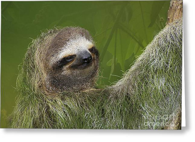 Sloth Greeting Cards - Three-Toed Sloth Greeting Card by Heiko Koehrer-Wagner