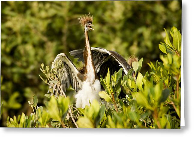 Three Chicks Greeting Cards - Three Tricolored Heron Egretta Tricolor Greeting Card by Tim Laman