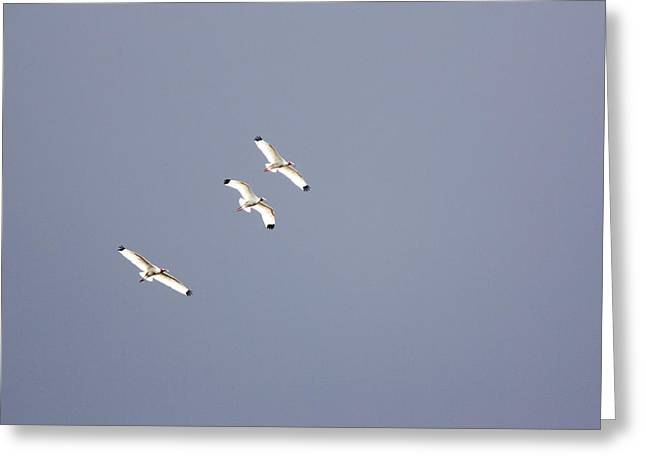 Synchronicity Greeting Cards - Three White Ibises White Ibis Endocimus Greeting Card by Tim Laman