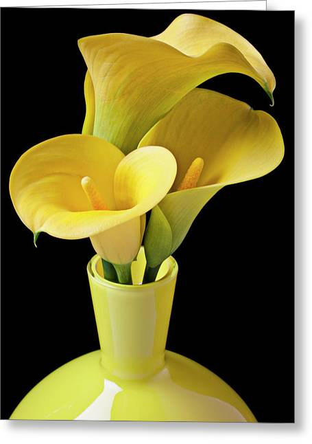 Aethiopica Greeting Cards - Three yellow calla lilies Greeting Card by Garry Gay