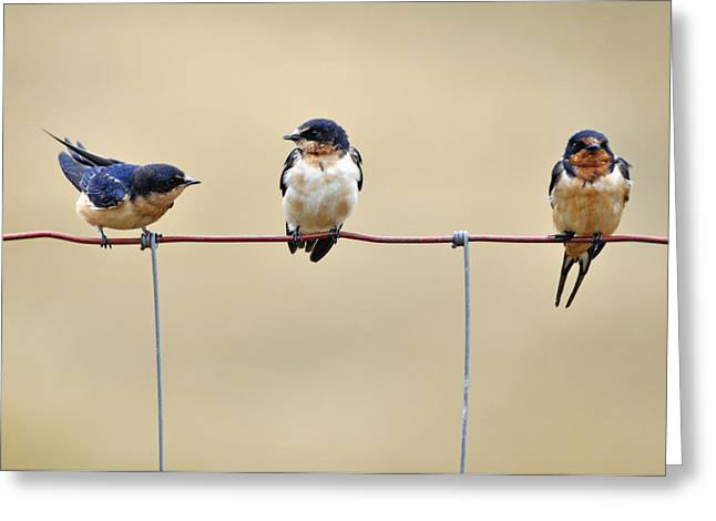 Oregon Wild Life Greeting Cards - Three Young Swallows Greeting Card by Laura Mountainspring