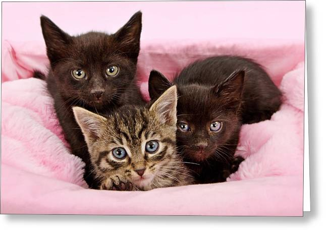 Kitten Greeting Cards - Threee kittens in a pink and white basket Greeting Card by Susan  Schmitz