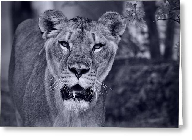 Lioness Greeting Cards - Through the Eyes of a Lion  Greeting Card by Saija  Lehtonen