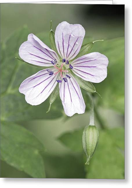 Geranium Flower Close Up Greeting Cards - Thunbergs Geranium (geranium Thunbergii) Greeting Card by Dr. Nick Kurzenko