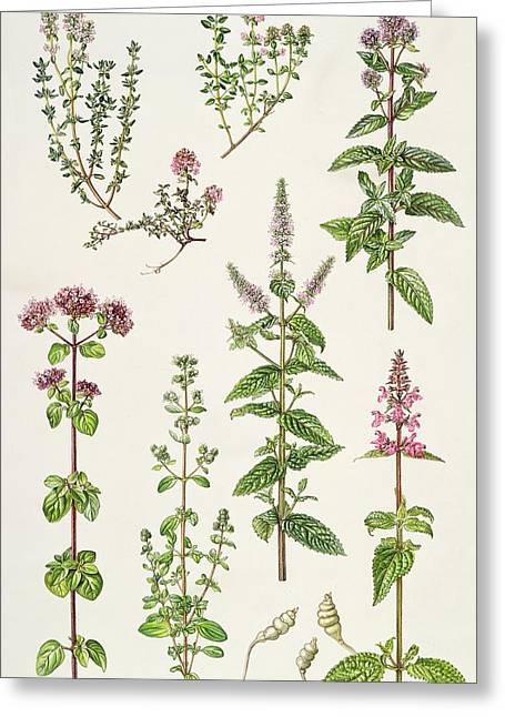 Thyme And Other Herbs  Greeting Card by Elizabeth Rice