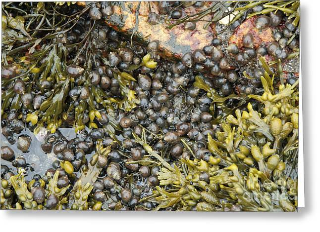 Sea Plants Greeting Cards - Tidal Pool With Rockweed Greeting Card by Ted Kinsman