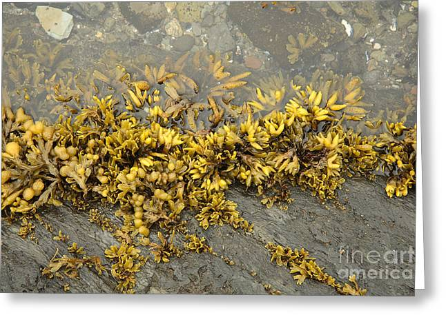 Sea Plants Greeting Cards - Tide Pool Greeting Card by Ted Kinsman