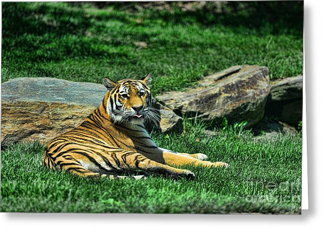 The Tiger Greeting Cards - Tiger - Endangered - lying down - tongue out Greeting Card by Paul Ward