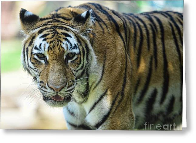 The Tiger Greeting Cards - Tiger - Endangered - Wildlife Rescue Greeting Card by Paul Ward