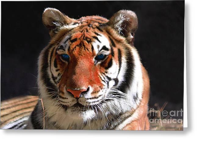 Tiger Blue Eyes Greeting Card by Rebecca Margraf