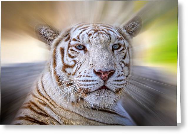 Growling Greeting Cards - Tiger Blur Greeting Card by Steve McKinzie