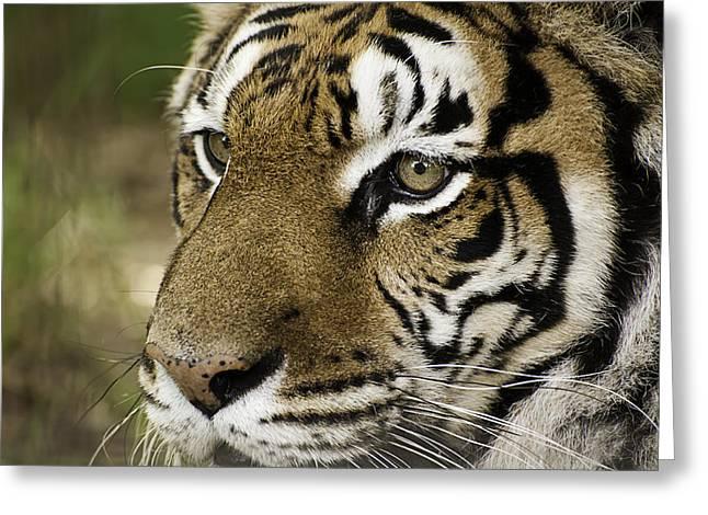 Tiger Print Greeting Cards - Tiger Face Greeting Card by Melany Sarafis