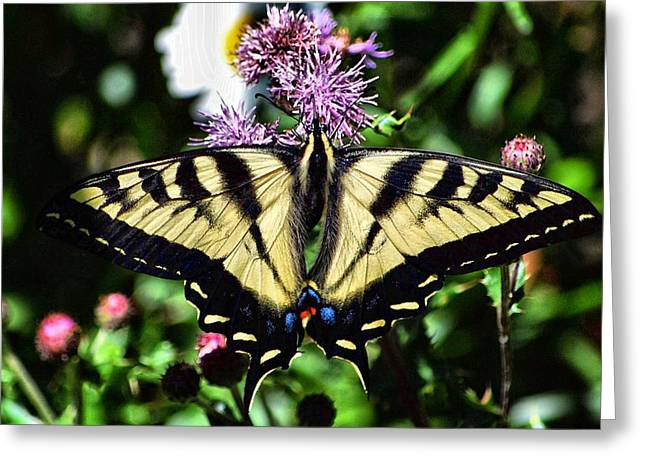 Tiger Swallowtail Digital Art Greeting Cards - Tiger Feeding Greeting Card by Don Mann